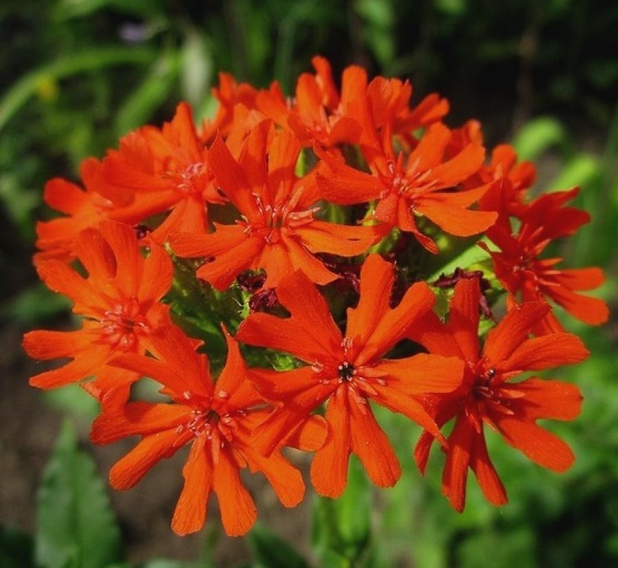 Фото садовых цветов красного цвета и названия