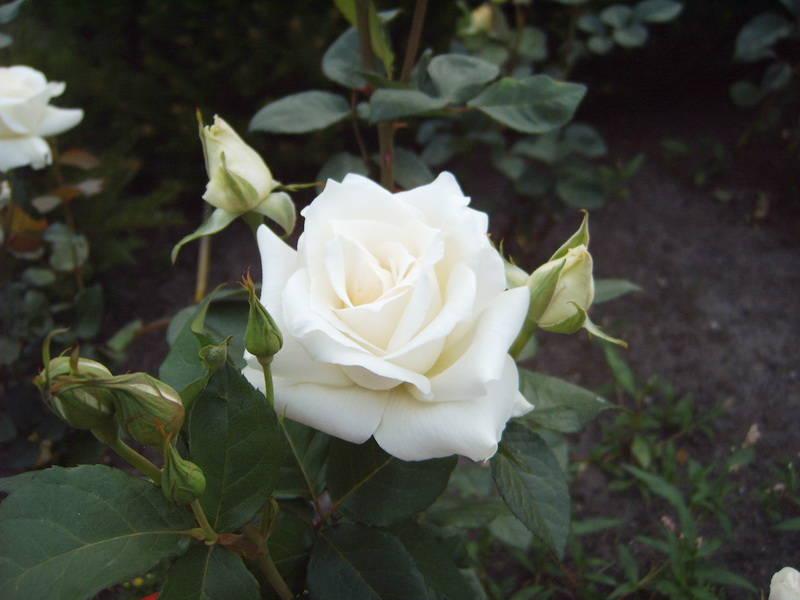 напольное роза паскали чайно гибридная фото разные техники изготовления