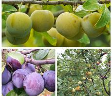 Дерево-сад (2-3х, 3-4х летка) слива 2 сорта Зареченская желтая - Ренклод колхозный