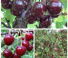 Дерево-сад (2-3х, 3-4х летка) вишня 2 сорта Жуковская - Факел