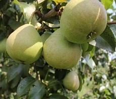 Груша плодовая Кокинская