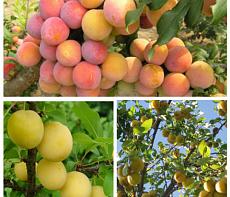 Дерево-сад (2-3х, 3-4х летка) слива 2 сорта Скороплодная - русская (Алыча) Злато скифов