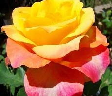 Роза миниатюрная Триколор