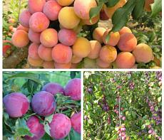 Дерево-сад (2-3х, 3-4х летка) слива 2 сорта Этюд - Скороплодная