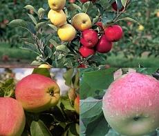 Дерево-сад (2-3х, 3-4х летка) яблоня 2 сорта Коричное новое - Штрефлинг