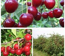 Дерево-сад (2-3х, 3-4х летка) вишня 2 сорта Жуковская - Молодежная