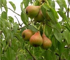 Груша плодовая Россошанская летняя